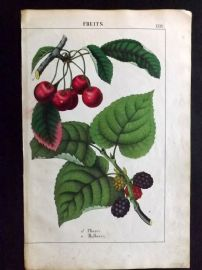 Yonge 1863 Hand Col Botanical Print. Cherry. Mulberry. Fruit